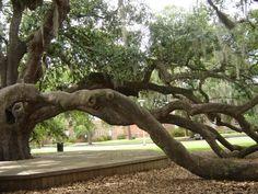A little bit of Friendship Oak at Southeastern Louisiana University today. Hammond, LA