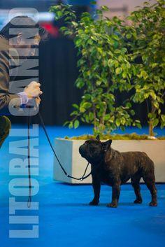 NOVIZALA HIGHLANDER (Godfredo De La Parure x Novizala Dominique) PALERMO 2015 HANDLER Y AGENTE: Germán y Gonzalo de Moonraver Team FOTO: Litoral Canino Gabriel Molina