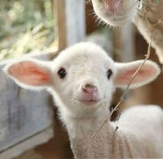 Cute baby lamb > sweet & happy face. Who wouldn't love this little guy!