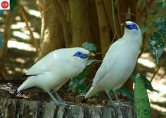 https://www.facebook.com/pages/THI%C3%8AN-NHI%C3%8AN-K%E1%BB%B2-TH%C3%9A/171150349611448?ref=hl Chim sáo đảo Bali, Indonesia | Bali myna/Bali starling/Jalak Bali (Leucopsar rothschildi)(Sturnidae)(Leucopsar) IUCN Red List of Threatened Species 3.1 : Critically Endangered (CR)(Loài cực kỳ nguy cấp)