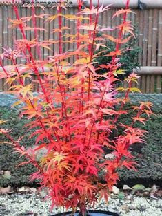 Acer palmatum 'Herhaim' (Aceraceae / Ahorn) Japanese Maple Varieties, Dwarf Japanese Maple, Potted Trees, Trees And Shrubs, Trees To Plant, Japanese Garden Design, Small Garden Design, Japanese Gardens, Do It Yourself Garten
