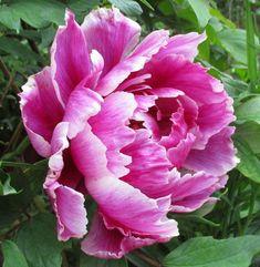 牡丹 - picture for you Peony Flower, Dahlia, Flower Art, Peony Painting, Watercolor Flowers, Exotic Flowers, Pretty Flowers, Arte Floral, Flower Pictures