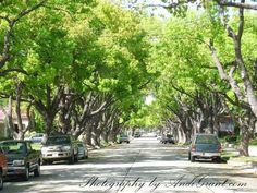 I LOVE tree-lined streets (California Heights Long Beach, CA)