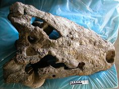 Biggest Crocodile Found—Fossil Species Ate Humans Whole?