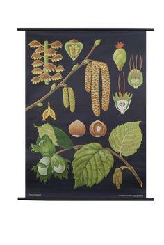 Botanical Print, Hazel