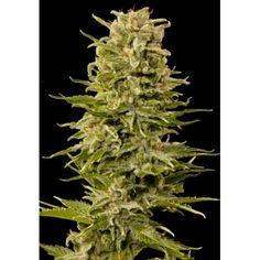 Cannabis Plant, Plants, Plant, Planting, Planets