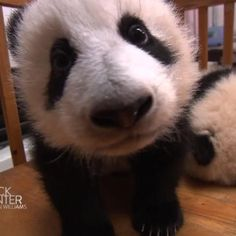 These baby pandas are learning the fine art of walking in the cutest way possible.