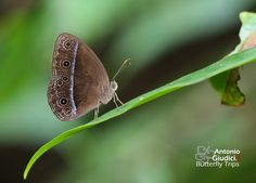 Ventral view of a Red Bushbrown (Mycalesis oroatis ustulata)(ตาลพุ่มสีแดง)  photographed by Antonio Giudici at Betong, Yala, Thailand on 24th June 2015