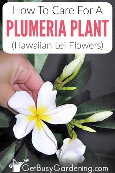 Plumerias (Hawaiian frangipani) are popular tropical plants that are easy to gro… - House Plants Flores Plumeria, Plumeria Care, Plumeria Flowers, Hawaiian Flowers, Hawaiian Plants, Gardening For Beginners, Gardening Tips, Organic Gardening, Indoor Gardening