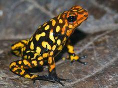"""Harlequin Dart Frog - """"Quebrada La Rusia"""""""