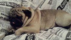 Lapo <3 My sweet pug