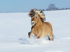 Norwegian horse galloping in snow by Manfred Grebler. Beautiful