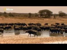 Leones, zona de guerra  Documental de Naturaleza   YouTube