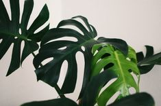 """It is safe to say that the monstera plant is absolutely breathtaking. Nicknamed the """"Swiss cheese plant"""" for its giant, holey leaves, the monstera is Plant Images, Plant Pictures, Ficus, Buy Indoor Plants, Snake Plant Care, Front Door Plants, Vase Transparent, Formal Garden Design, Patio Design"""
