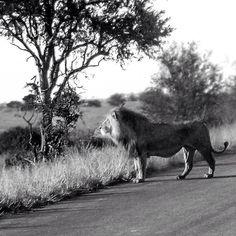 Male Lion at the Kruger park #safari #southafrica #sa #wanderlust #travel #instatravel #travelgram #traveler #bestpic #nature #krugerpark #kruger #blackandwhite #lion #love #beast #animal #animals #landscape