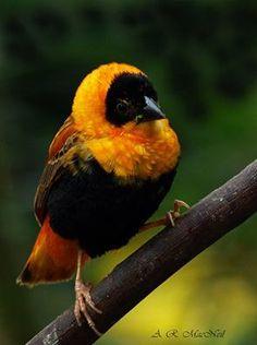 orange bishop ( Male )