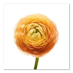 Ranunculus Floral Photo by Wiff Harmer