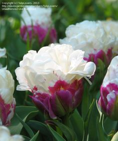 close up, Double Late Tulip, Peony-flowered Tulip 'Ice Cream' (Tulipa)