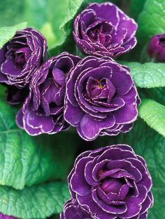 Primula (Miss Indigo) Purple Flowering Plants, Flowering Trees, Lavender Flowers, Purple Flowers, Colorful Flowers, Shades Of Purple, Green And Purple, Exotic Flowers, Beautiful Flowers
