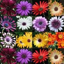 Image result for african moon flowers pinterest