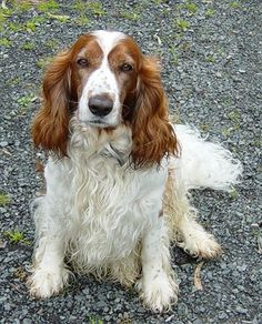 """During the Renaissance, the """"Land Spaniel,"""" a Welsh Springer-type dog with red and white markings, was used for retrieving, and tapestries of the time depict a dog very similar to the Welsh. Originally, he was bred to spring game toward a net or into the air prior to the invention and common use of the gun. Although the breed was fashionable with the nobility in the 1700's, the English Springer Spaniel soon replaced it in popularity."""