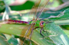 Le saviez-vous ? Certaines espèces de libellule immigrent ! Elles partent de l'Inde pour rejoindre l'Afrique, un bien long voyage pour ces petits insectes qui profitent néanmoins des vents de la mousson. Particularités : elles réalisent cette migration... Sur 4 générations !