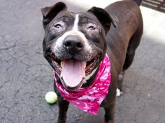 BABY GIRL - A1074801 - - Manhattan  TO BE DESTROYED 06/01/16 A volunteer writes (as told by Baby Girl): Hi everyone! My name is Baby Girl and I kind of like that name as it's soft, sweet and loving — just like me! I'm quiet in my kennel and so thrilled when I make a new friend named Volunteer and she takes me outside to go potty. I'm housetrained and she laughed at how much business I took care of. Oh well…..I like to keep my kennel clean. I ha