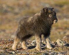 Ken Conger Photography: Nome, Alaska - Muskox calf