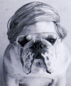 English Bulldog rocking the come-over.