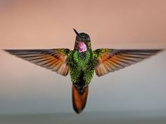 Photo: A hummingbird with its wings outstretched