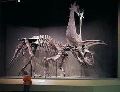 Pentaceratops. Classification Règne Animalia Classe Reptilia Ordre † Ornithischia Sous-ordre † Marginocephalia Super-famille † Ceratopsia Famille † Ceratopsidae Sous-famille † Chasmosaurinae