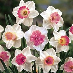 Large Cupped Daffodil Bulbs Mixed Pink from American Meadows, your trusted source for Daffodil Flower Bulbs.  We offer gardeners guaranteed Large Cupped Daffodil Bulbs Mixed Pink and all the information and confidence needed to succeed.