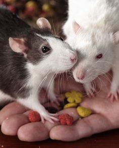 .Rats are like potato chips.....you just can't have only one !