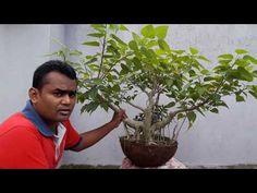 Bonsai tutorials for beginners repotting a bonsai tree ficus rumphii: Ficus Bonsai Tree, Bonsai Tree Care, Bonsai Plants, Bonsai Garden, Deciduous Trees, Flowering Trees, How To Grow Bonsai, Bonsai Making, Air Layering