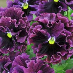 Pansy 'Frizzle Sizzle Burgundy'