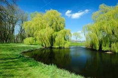 Interesting Facts About Weeping Willow Trees and how to grow them. So beautiful! We could put one by the pond!