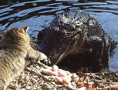 That cat is not taking crap from anyone or anything...including an alligator five times its size.