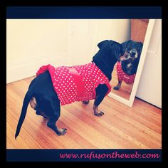 Aly Claire is in her party dress and celebrating her birthday today! http://wp.me/p27Fw1-fY #dachshund #doxies #alldressedup