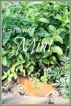 Growing and taming invasive mint! An easy way to keep it from spreading all over the garden.