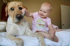 The Labrador Retriever Dog is sitting calmly with the Baby playing with his big mouth