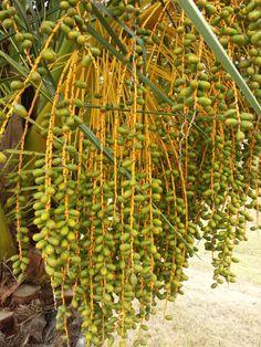 30 de mayo de 2014. Cascada de dátiles es las palmeras. Extremadura. España.