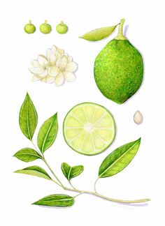 Citrus Aurantifolia (Lime), by Kendyll Hillegas | 9x12, mixed media on paper