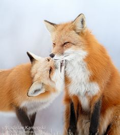 Who doesn't love kisses? 365 days fox marathon Day 217 #365daysfoxmarathon #photography #wildlife