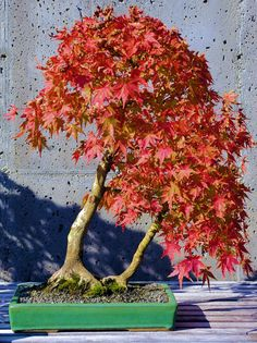 See the tiniest fall color show at the Bonsai exhibit at the NC Arboretum in Asheville. http://www.romanticasheville.com/arboretum_fall.htm