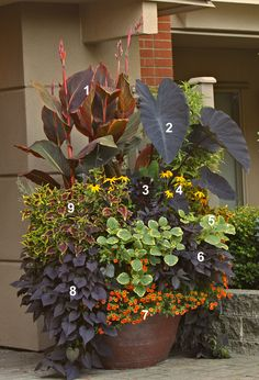 Tropicanna Black in Todd Holloway container garden | Flickr - Photo Sharing!