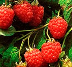 How to grow raspberries. Not as important as strawberries and blackberries, mind you, but every garden needs diversity. Hmm. I bet they would make a nice plant to put on the hedgerow.