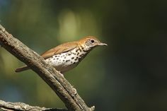 DISTRICT OF COLUMBIA Wood thrush. Adopted 1967.Official Birds of Every State