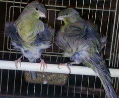 Italian Canary