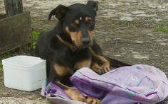 22/Jan/2013 - Um cão abandonado permaneceu durante toda a segunda-feira (21) ao lado de uma mochila com um diário com anotações de uma garota relatando a mudança da família para outro local. O caso ocorreu em Campinas (São Paulo - Brasil), e chamou a atenção de moradores.