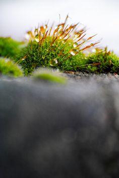 Mauer-Drehzahnmoos und Schneeglöckchen – überraschend interessante Fotomotiv
